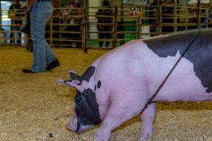 EDay 3 Pigs (2125)